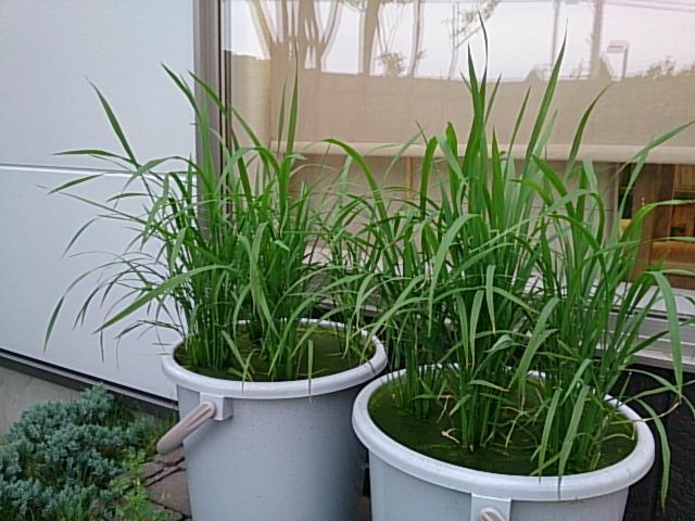稲の成長0613